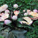 arthobbystudio lublin0001warsztaty foamiran kwiatyzfoamiranu pianka piwonia 150x150