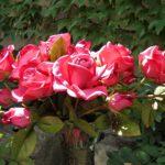 arthobbystudio lublin0009warsztaty foamiran kwiatyzfoamiranu pianka roza 150x150